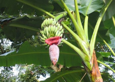 Garden-with-bananas-in
